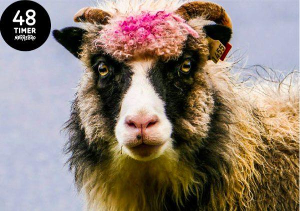 sheep48